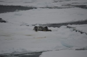 Leopard Seal and Pup